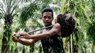 Un ouvrier récolte des noix de palme à Sumatra (Indonésie) le 18 janvier 2017.