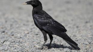 Un corbeau ramasse une cigarette sur le parking du Puy du Fou, en Vendée, le 14 août 2018.
