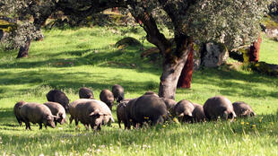 Le cochon ibérique doit répondre a des normes génétiques et d'élevage très précises