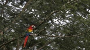Một con vẹt đuôi dài Nam Mỹ thuộc loài Scarlet Macaw đang bị đe dọa vì nạn phá rừng, vừa được một hiệp hội môi trường can thiệp thả trở vào rừng ở Paquera, San Jose ngày 19/10/2012.