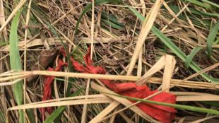 Bandeau rouge, symbole des Kamuina Nsapu, découvert près de l'une des dix-neuf fosses communes documentées par l'ONU.