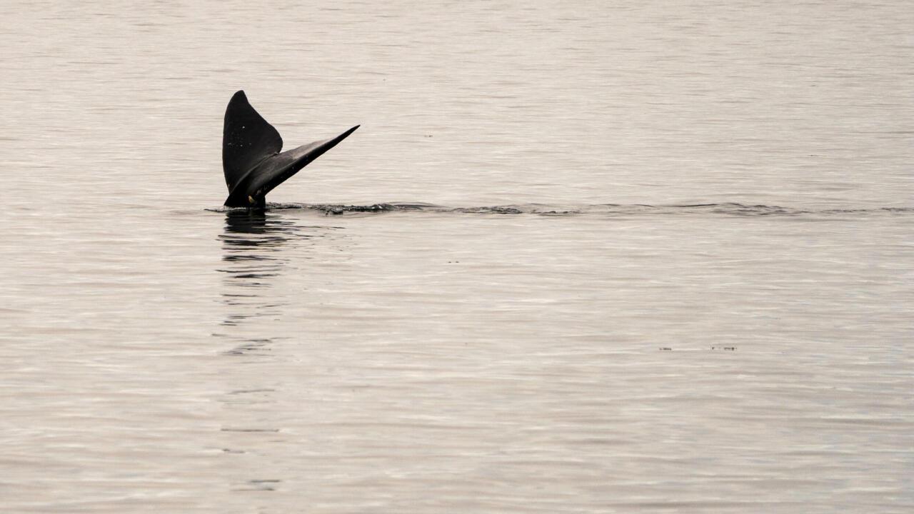 Speeding ships killing endangered N. Atlantic right whales: study