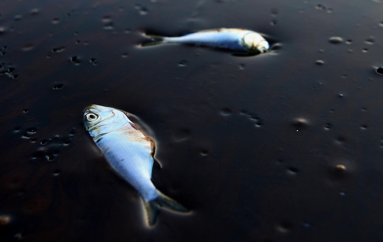 Des poissons englués dans du pétrole qui s'échappe de la plate-forme Deepwater Horizon.