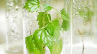 La multiplication végétative est un moyen efficace pour augmenter la multiplication des végétaux choisis pour leur qualité.