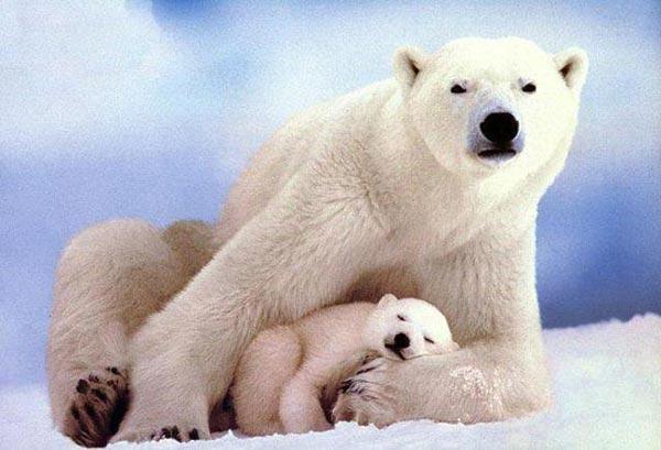 科學家把北極熊分為19個品種中 有4種北極熊早就因冰川減少而數量下降,