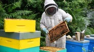 L'apiculteur français Thomas Le Glatin inspecte les cadres de miel le 19 juin 2018 à Ploerdut, dans l'ouest de la France.