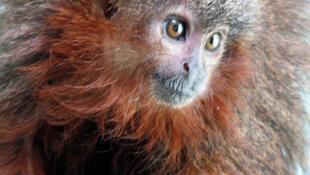 O zogue-zogue Caqueta titi (Callicebus caquetensis) é uma das 20 espécies existentes desse tipo de macaco que vive na Amazônia.