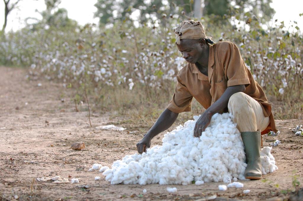 Récolte d'une production de coton en Côte d'Ivoire.