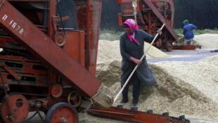 Récolte de blé, dans le village de Nur-Shari, à l'Est de Moscou.