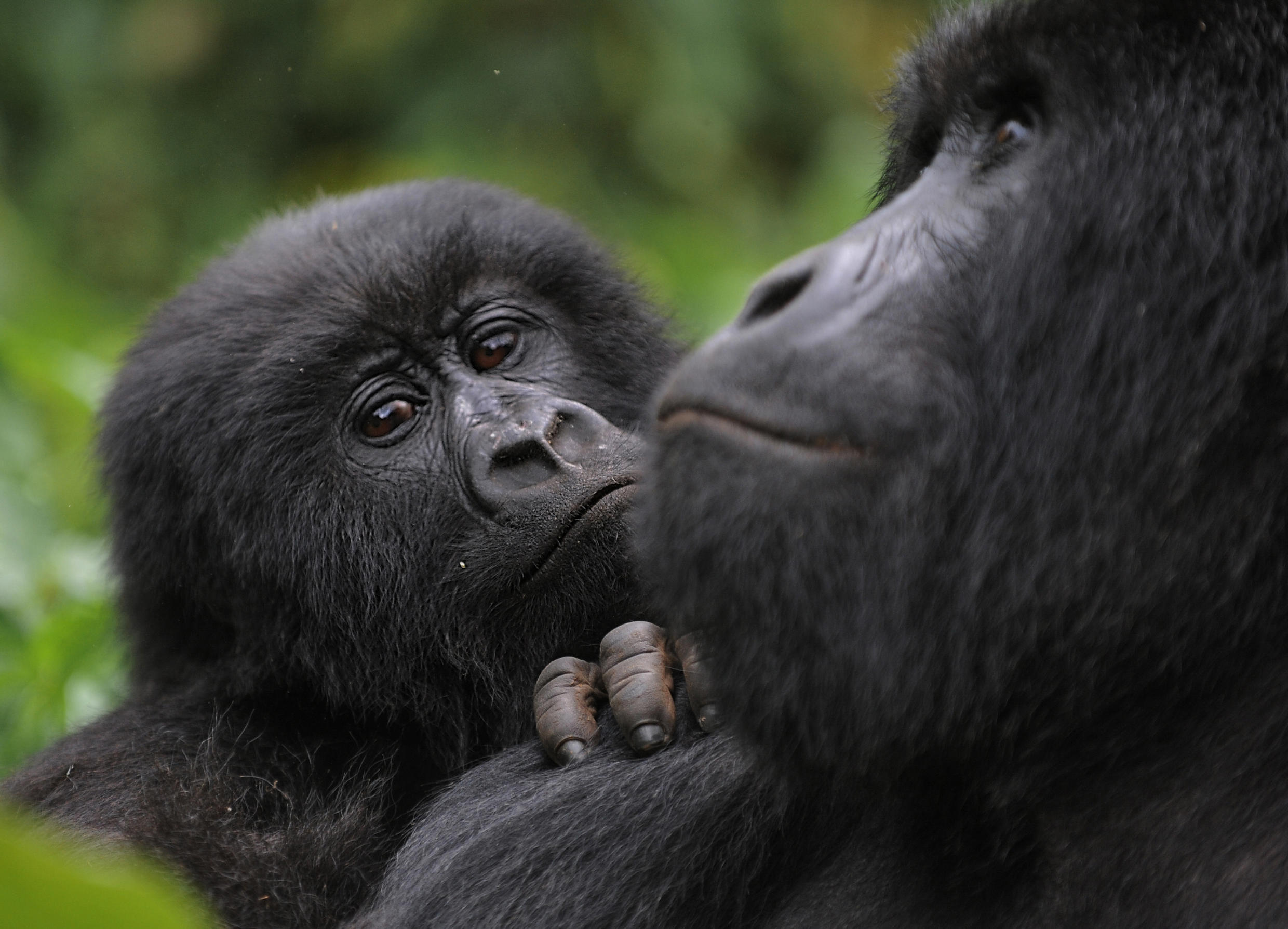 """Thanks to intensive conservation efforts the mountain gorilla's status improved from """"critically endangered"""" to """"endangered"""" in 2018. The picture shows mountain gorillas in the DR Congo's Virunga National Park"""