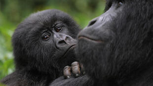 "Thanks to intensive conservation efforts the mountain gorilla's status improved from ""critically endangered"" to ""endangered"" in 2018. The picture shows mountain gorillas in the DR Congo's Virunga National Park"