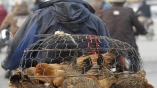 Homem transporta aves vivas pelas ruas de Hanoi. A OMS alertou sobre risco de nova epidemia de gripe aviária.
