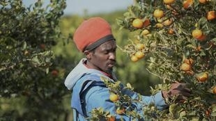 Un saisonnier migrant cueille des mandarines près de Lepe, dans le sud de l'Espagne, le 2 mars 2020.