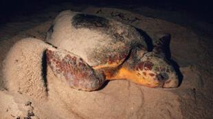 Les tortues Caouanne ne peuvent se reproduire qu'à partir de 30 ans et ne pondent que les deux ou trois ans.