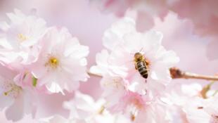 Une abeille dans un cerisier en fleurs.