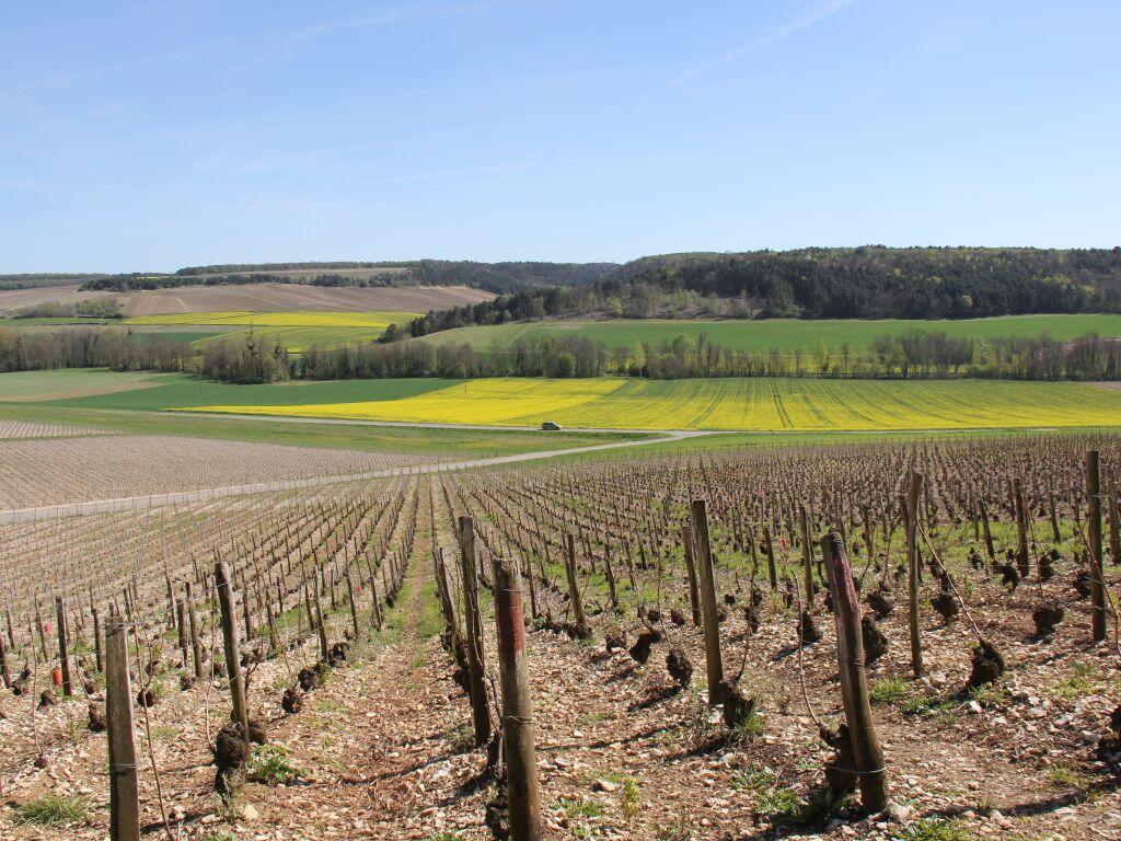 Le vignoble de la côte des Bars, dans le sud de la Champagne.