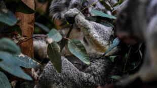 Los koalas viven a lo largo de la costa este de Australia, pero se consideran vulnerables a la extinción