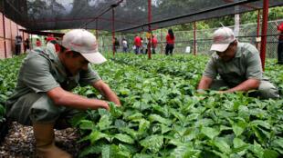 La producción de café venezolano podría disminuir en un 80% en 2019.