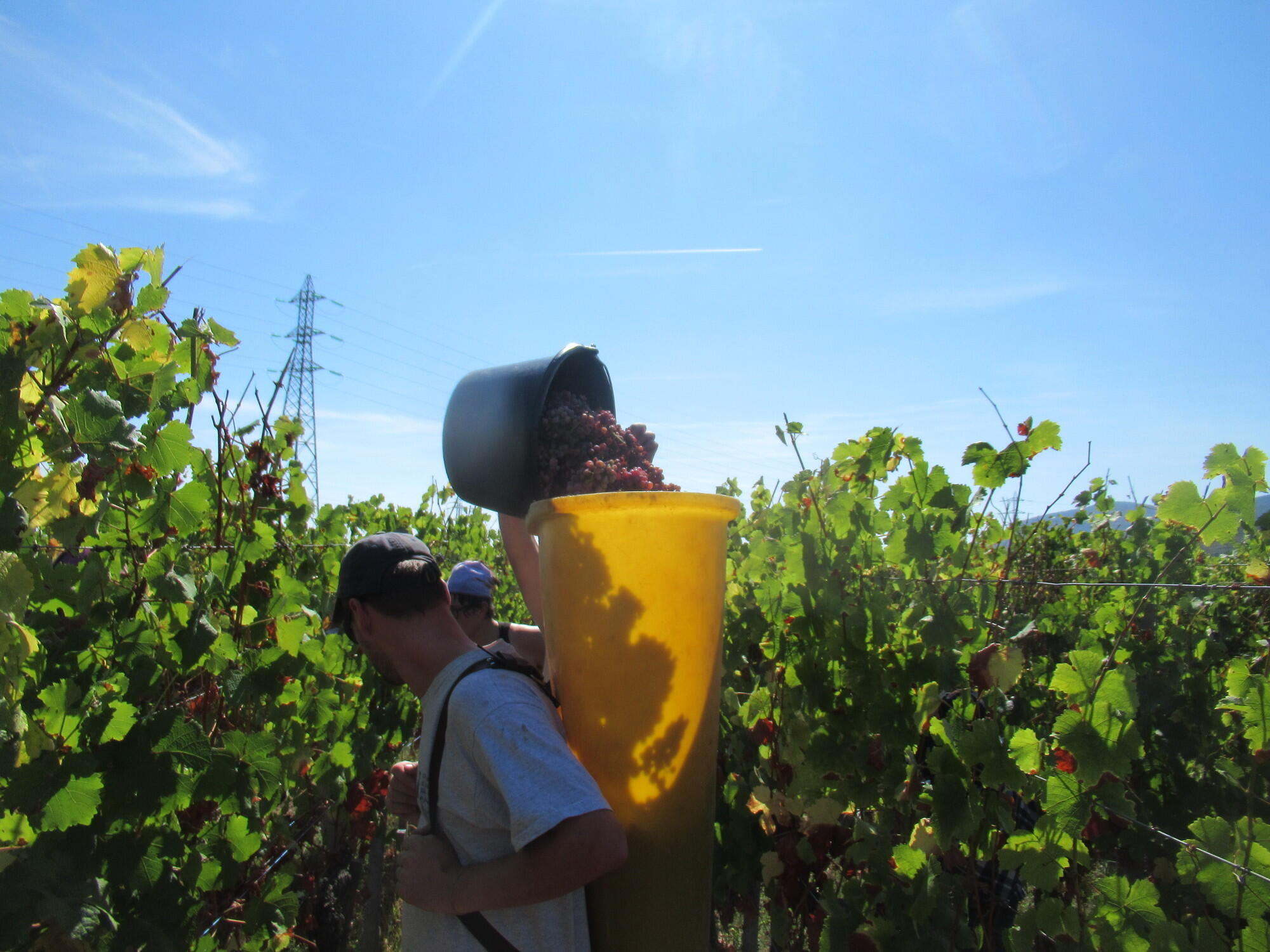 Grape harvesters near Colmar, in eastern France. Most of the porters are employees of the winery, while the cutters are seasonal workers.