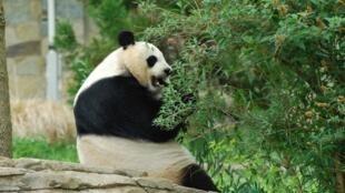 美國華盛頓動物園的大熊貓
