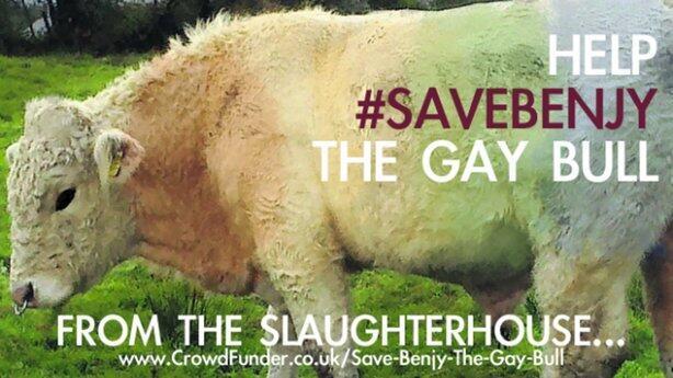 Une campagne sur le net a permis de sauver le taureau gay de l'abattoir
