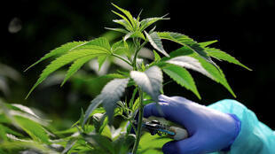 A medical cannabis plant in Israel, where one of the companies providing oil for France's medical cannabis experiment comes from, as it is illegal to manufacture these products in France.