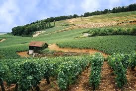 En France, les maladies du bois sont un «un drame national».