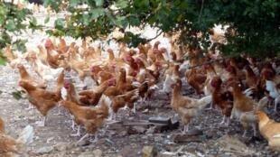 法国诺曼底地区放养的鸡群