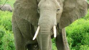 Ndovu ikiwa kwenye mpaka wa hifadhi ya wanyama ya Serengeti na Ngorongoro nchini Tanzania.