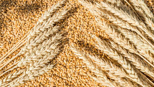 澳大利亚小麦报道图片
