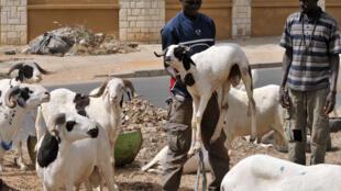 Un vendeur de moutons à Dakar avant la fête de la Tabaski.