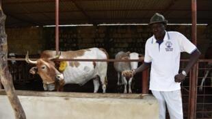 Michel Doudou Sène dans sa ferme de Kaolack avec l'une de ses vaches laitières, le 16 juillet 2020.
