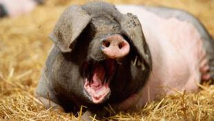 La Chine importe de plus en plus de porc, notamment auprès des éleveurs européens.