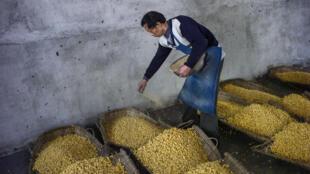 Désormais l'administration chinoise n'achètera plus directement la récolte de maïs, mais elle subventionnera les agriculteurs