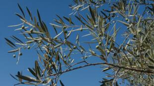 Un rameau d'olivier.