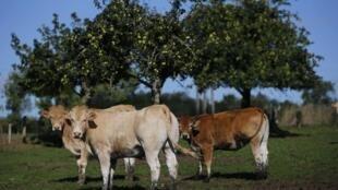 Des vaches françaises paissent dans une ferme de Bretagne, le 2 septembre 2015.
